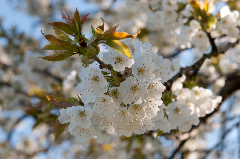 Kirschblüte um Walkersbrunn