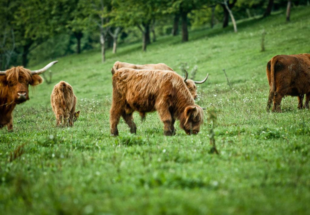 Schottische Hochlandrinder in der Fränkischen Schweiz
