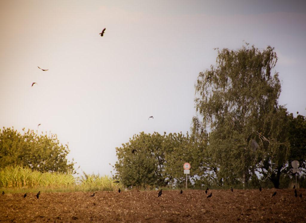 Vögel auf einem Feld bei Oberngrub