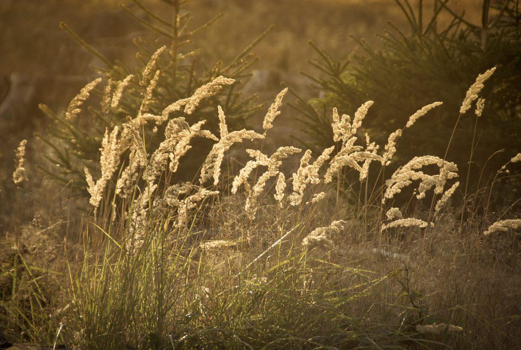 Lichtspiel der Sonne in Gräsern auf beforsteter Flur zwischen Haidhof und Mittelehrenbach