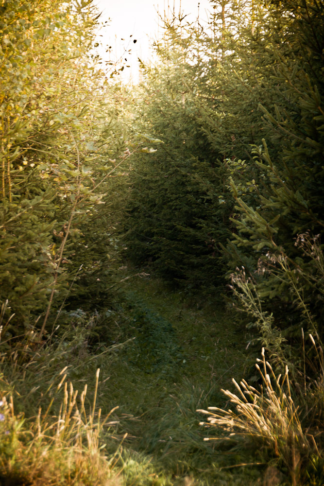 Sagenhafter Trail auf Gras durch dicht bewachsenen Fichtenwald