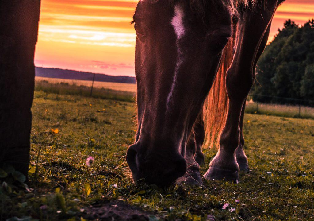 Pferdekoppel zwischen Lilling und Kemmathen im Sonnenuntergang