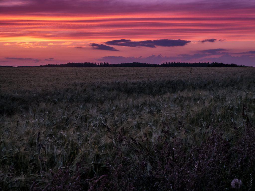 Getreidefeld bei Kemmathen im Sonnenuntergang