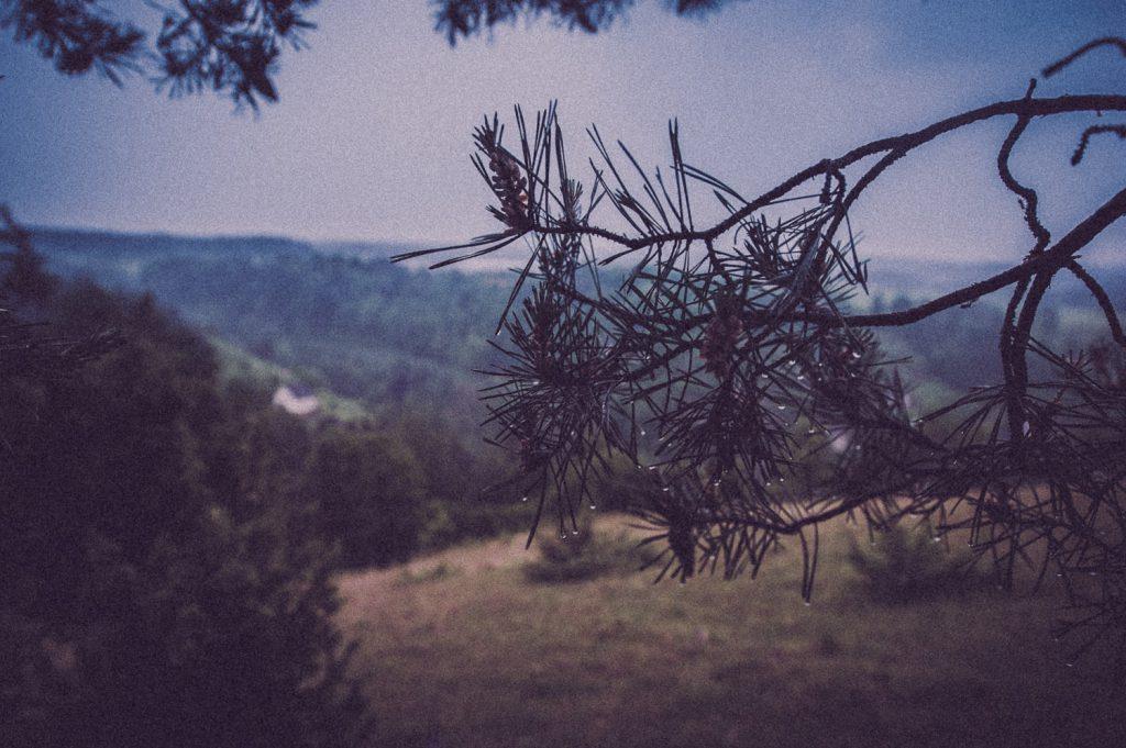 Ast eines Nadelbaums auf der Hochfläche bei Pottenstein