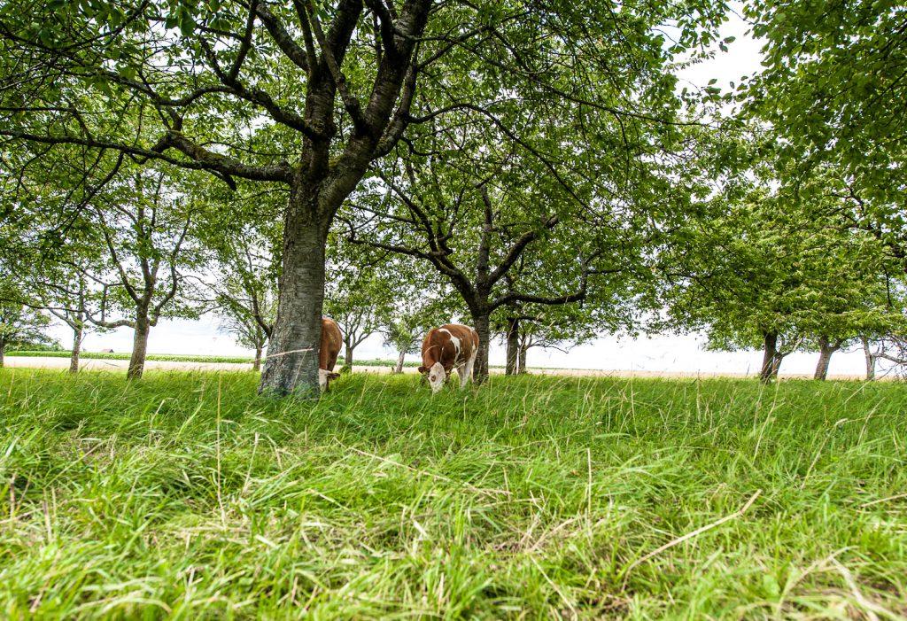 Kühe auf der Weide bei Guttenburg